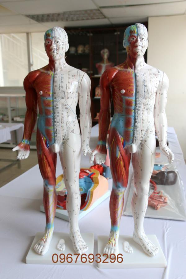 Các mô hình giải phẫu của trường