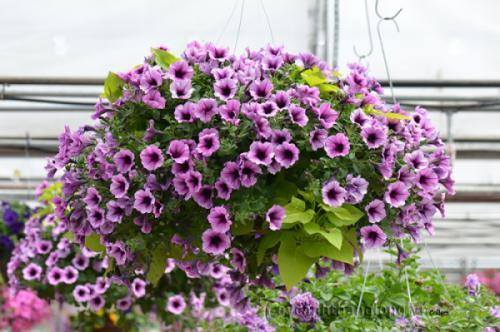 Cách chăm sóc cây hoa Dạ yến thảo
