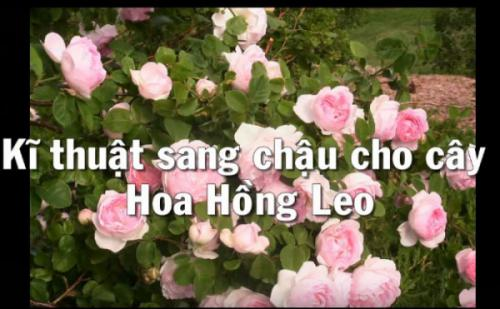 Kỹ thuật ra chậu trồng bồn cho hoa hồng leo