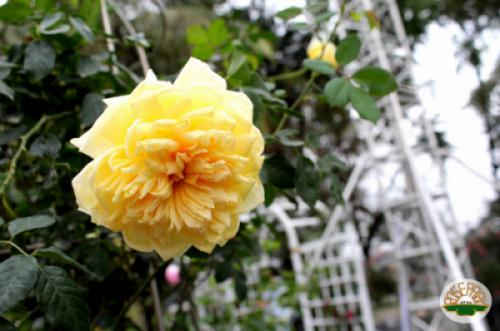 Ngụ ngôn Con gà mái trụi lông liên tưởng đến Lễ hội hoa hồng