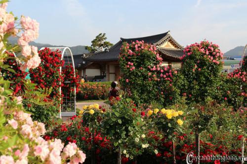 Cách quản lí chăm sóc các giống Hoa Hồng quốc tế