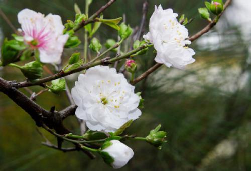 Nên chọn Hoa mai trắng làm quốc hoa