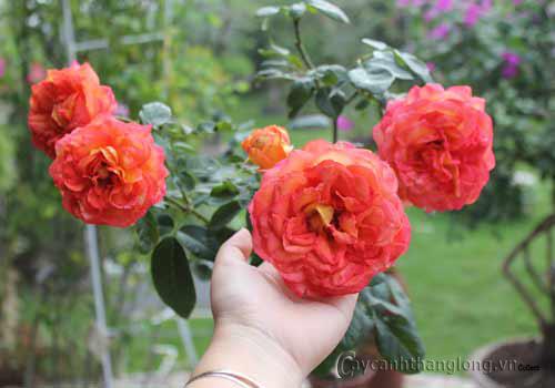 Những khác biệt lớn của cây hoa khi nuôi trong tự nhiên và nhân tạo