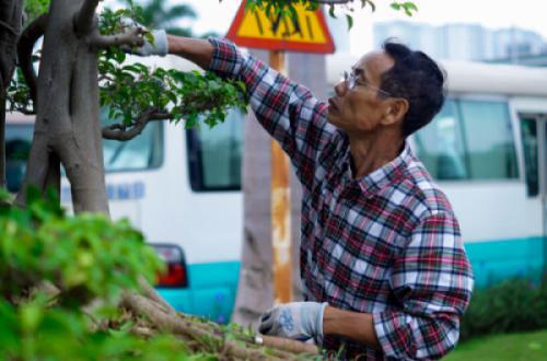 Nghệ nhân Đào Mạnh Hùng chăm sóc cây sanh thế Phiêu Du tại bảo tàng Hà Nội