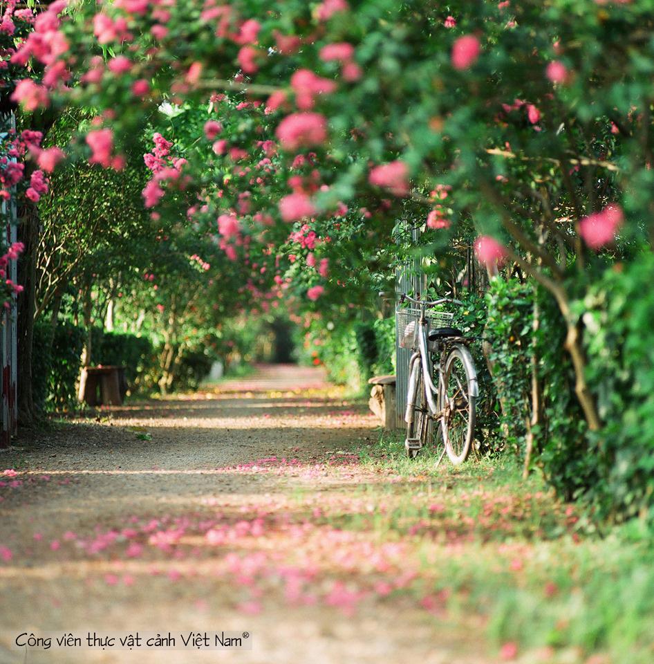con đường hoa tường vi
