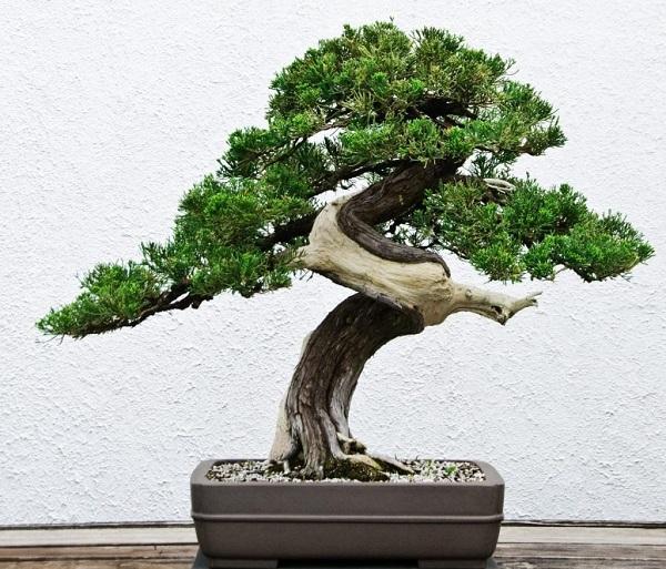 tùng bonsai