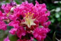Vẻ mộc mạc yêu kiều của hoa tường vi