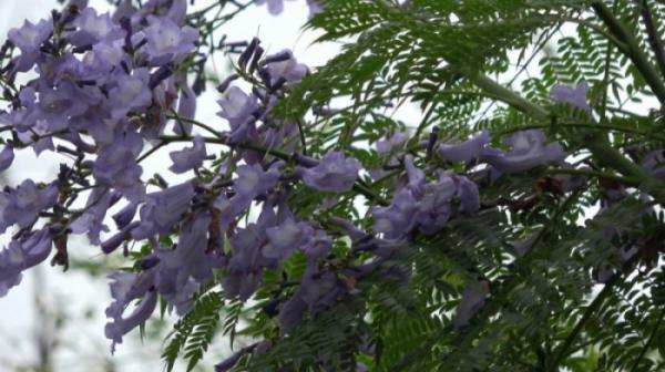 Loài phượng tím – loại cây bóng mát độc đáo tại công viên thực vật cảnh Việt Nam