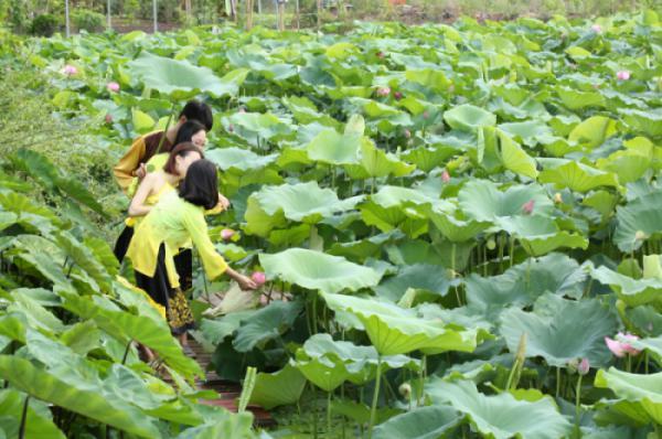 Hòa mình vào đầm Sen Công viên thực vật cảnh Việt Nam
