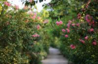 Lễ hội hoa tường vi  <br>Chuyện tình hoa tường vi mùa hạ