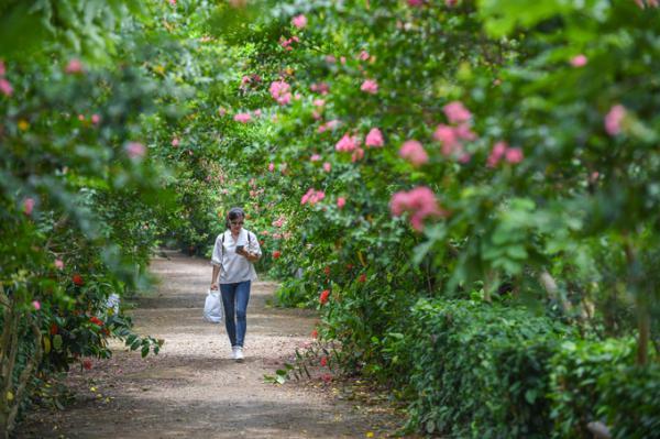 Con đường hoa Tường Vi trăm gốc vào mùa nở rộ ở Hà Nội
