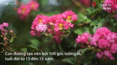 Đường hoa tường vi nở rộ dài 200 m ở Hà Nội
