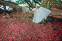 Du lịch Phú Thọ: Cây lộc vừng di sản ở Phú Thọ trải thảm hoa đỏ dưới gốc.