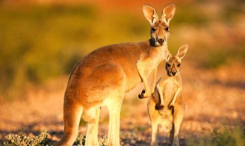 10 ĐIỀU THÚ VỊ VỀ LOÀI CHUỘT TÚI - BIỂU TƯỢNG CỦA AUSTRALIA XINH ĐẸP