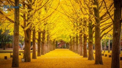 SEOUL-NAMI- EVERLAND-YEOUIDO PARK  (CÔNG VIÊN HOA ANH ĐÀO)