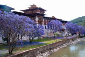 Đến Bhutan, ngắm phượng tím nở rợp trời vương quốc hạnh phúc