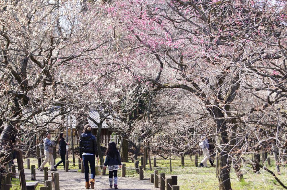 OSAKA – KOBE – KYOTO – HAMAMATSU – ATAMI – NÚI PHÚ SĨ – TOKYO  (MÙA HOA MƠ)